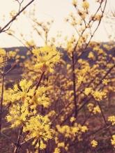 첫 봄꽃노리